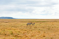 Zebras het weiden in savanne in Afrika stock afbeelding