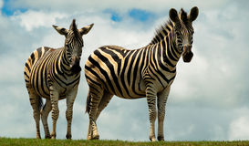 Zebras on a hill Stock Photography