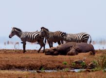 Zebras and hippos Royalty Free Stock Image
