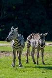 Zebras, horse family animal, lives in grasslands, savannas, wood. Black-white zebras, horse family animal, lives in grasslands, savannas, woodlands, thorny Stock Images
