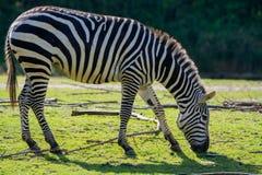 Zebras, horse family animal, lives in grasslands, savannas, wood. Black-white zebras, horse family animal, lives in grasslands, savannas, woodlands, thorny Royalty Free Stock Photos