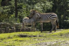 Zebras hugging Royalty Free Stock Image