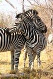 Zebras im Busch. Stockbild