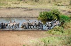 Zebras im Fluss Lizenzfreie Stockfotos