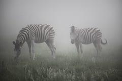 Zebras im Nebel lizenzfreie stockfotografie
