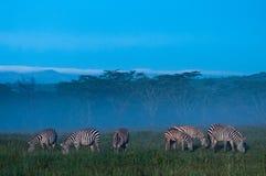 Zebras im Nebel des frühen Morgens stockfotografie