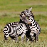Zebras im Ngorongoro Krater Lizenzfreie Stockbilder