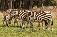 Zebras im Texas Hill Country 2 lizenzfreie stockfotografie
