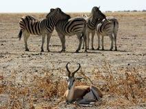 Zebras and Impala Stock Photo