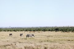 Zebras and Impalas in the beautiful grassland of Ol Pejeta Conservancy, Kenya Royalty Free Stock Photos