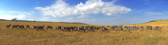Free Zebras In A Row Walking In The Savannah In Africa Royalty Free Stock Photo - 62068115