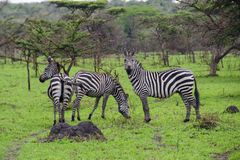 Free Zebras In Lake Mburo National Park Royalty Free Stock Photography - 104122957