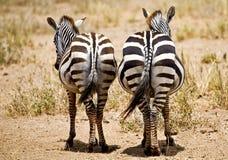 Zebras insolentes Fotografia de Stock Royalty Free