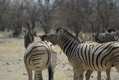 Zebras interacting. Two zebras interacting in the wild, Namibia, Africa Royalty Free Stock Photos