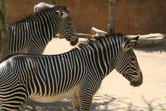 Zebras - jardim zoológico de Los Angeles Fotos de Stock Royalty Free