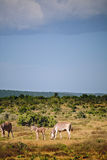 Zebras with juvenile Royalty Free Stock Photo