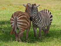 Zebras, Kenya Royalty Free Stock Photos
