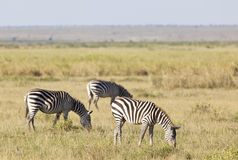 Zebras in Kenya Stock Photography