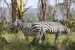 Zebras in Kenya Royalty Free Stock Photos