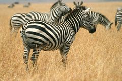 Zebras in Kenya's Maasai Mara Stock Image