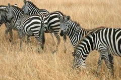 Zebras in Kenya's Maasai Mara Royalty Free Stock Image