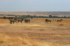 Zebras in Kenya's Maasai Mara Royalty Free Stock Images