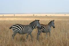 Zebras in Kenya's Maasai Mara Stock Photo