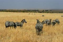 Zebras in Kenya's Maasai Mara Royalty Free Stock Photography