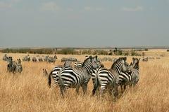 Zebras in Kenya's Maasai Mara Royalty Free Stock Photos