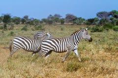 Zebras in Kenya's Tsavo Stock Image
