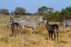Zebras in Kenya's Tsavo Royalty Free Stock Photography