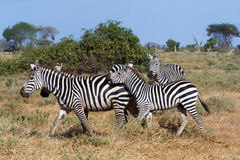 Zebras in Kenya's Royalty Free Stock Images