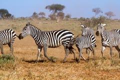 Zebras in Kenya's Tsavo Reserve Stock Photo