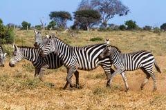 Zebras in Kenya's Tsavo Reserve Royalty Free Stock Photography