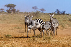 Zebras in Kenya's Tsavo Reserve Royalty Free Stock Photo