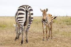 Zebras in Kenya. Two Zebras in Nairobi National Park in Kenya stock photo