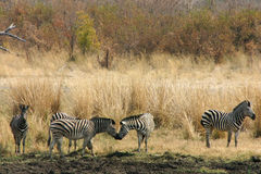 Zebras kissing Royalty Free Stock Photography
