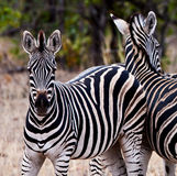 Zebras in Kruger National Park Royalty Free Stock Image