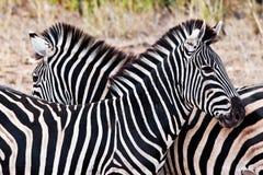 Zebras in Kruger National Park Stock Photos