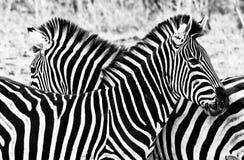 Zebras in Kruger National Park Stock Photo