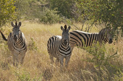 Zebras in Kruger National Park Royalty Free Stock Photography