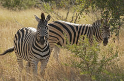 Zebras in Kruger National Park Stock Image