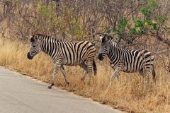Zebras in Kruger National Park South Africa stock image