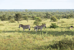 Zebras in the kruger national reserve Royalty Free Stock Photo