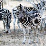 Zebras at krugerpark. South Africa Royalty Free Stock Photo