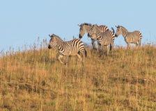 Zebras Stock Image