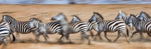Zebras laufen in den Staub in der Bewegung kenia tanzania Chiang Mai serengeti Masai Mara Stockfoto