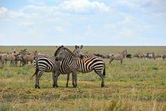 Zebras leben in der Savanne in Herden lizenzfreie stockbilder