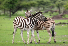 Zebras in liefde stock foto's