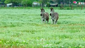 Zebras  live in the steppe next to a farm. Two zebras live in the steppe next to a farm stock footage
